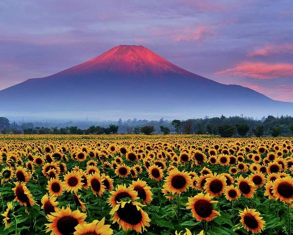 Tranquility Poster featuring the photograph Sunflower And Red Fuji by Katsumi.takahashi