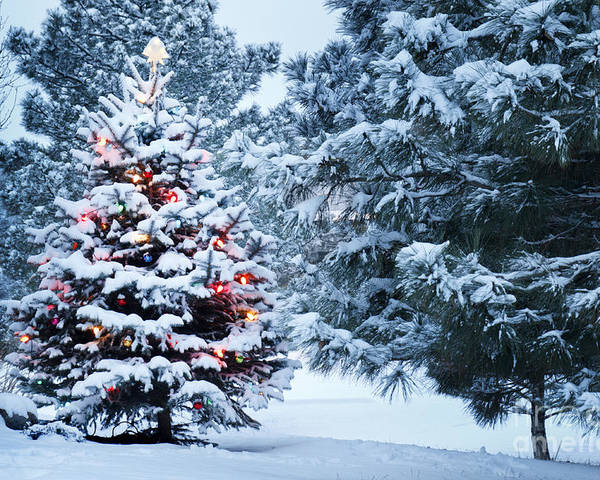Pine Tree Poster featuring the photograph This Snow Covered Christmas Tree Stands by Ricardo Reitmeyer