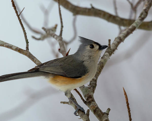 Titmouse Poster featuring the photograph Titmouse Winter Morning Cutie by Betsy Knapp