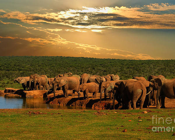Big Poster featuring the photograph Troop, Herd Of Elephant, Loxodonta by Hajakely