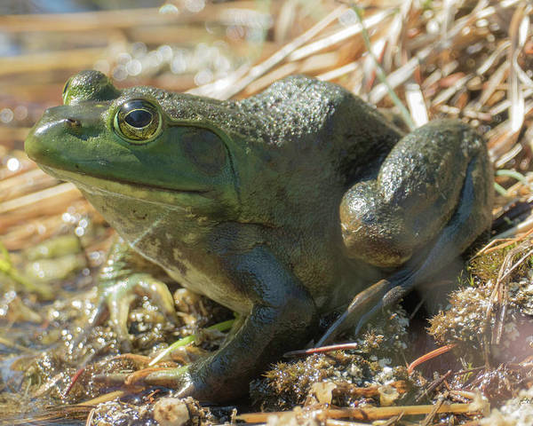 American Bullfrog Poster featuring the photograph True Frog by Sally Sperry