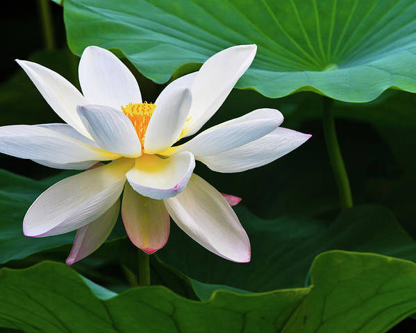 White Lotus Flower Poster By Feng Wei Photography
