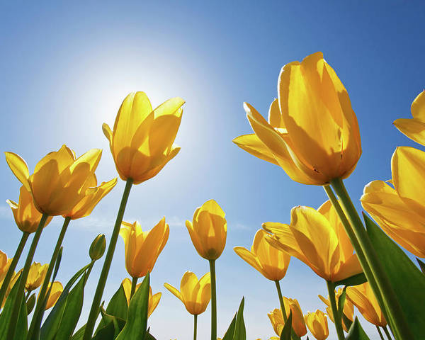 Petal Poster featuring the photograph Yellow Tulips Against A Blue Sky At by Design Pics / Craig Tuttle