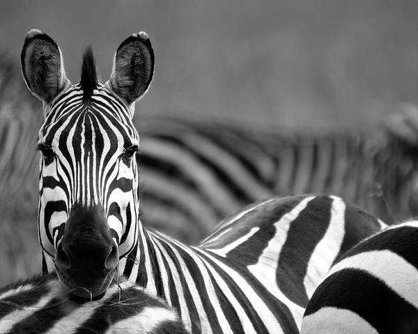 Plains Zebra Poster featuring the photograph Zebra by Wldavies