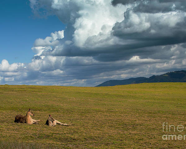 Eastern Grey Kangaroos Poster featuring the photograph Kangaroos and approaching storm by Sheila Smart Fine Art Photography