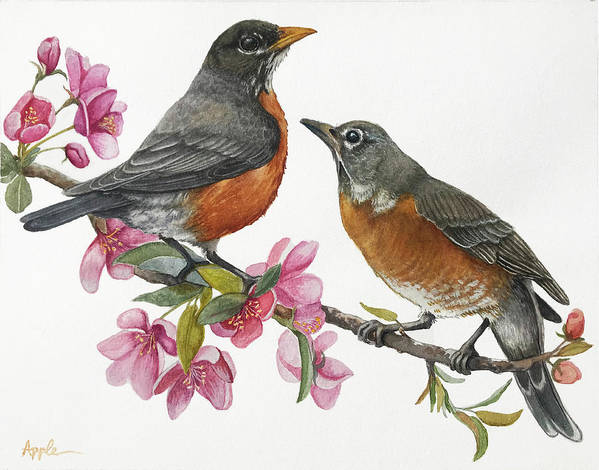 American Robins Poster featuring the painting American Robins State Bird Original Wildlife Watercolor by Linda Apple
