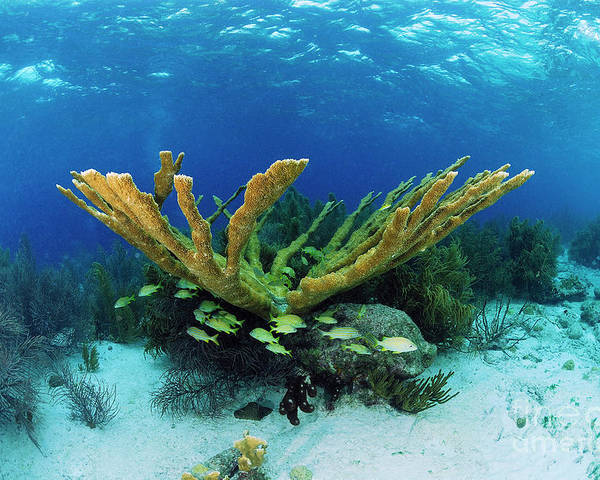 70007084 Poster featuring the photograph Elkhorn Coral by Hans Leijnse