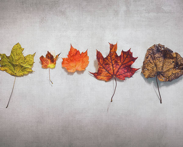 Autumn Poster featuring the photograph Five Autumn Leaves by Scott Norris
