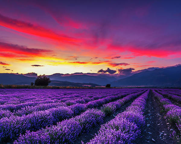 Dusk Poster featuring the photograph Lavender Season by Evgeni Dinev
