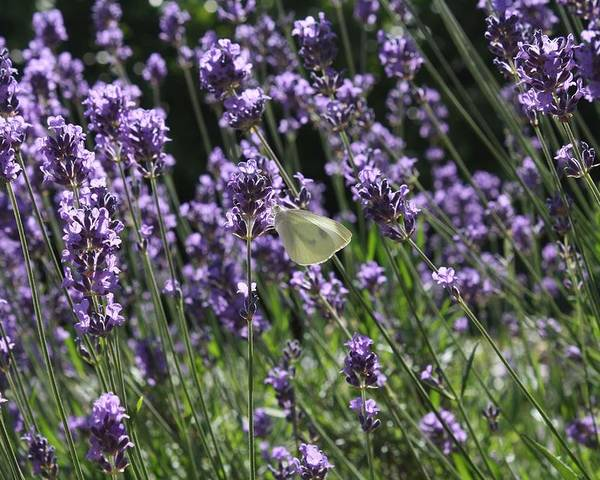 Lavender Poster featuring the photograph Lavender by Vicki Cridland