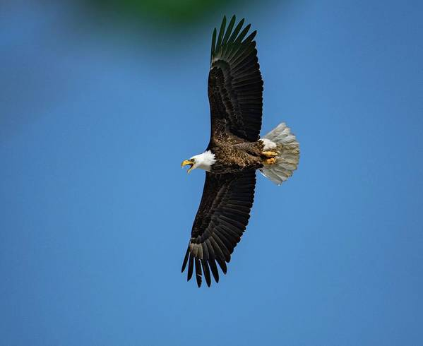 Bald Eagle Poster featuring the photograph March Mooseheart - 25 by David Bearden