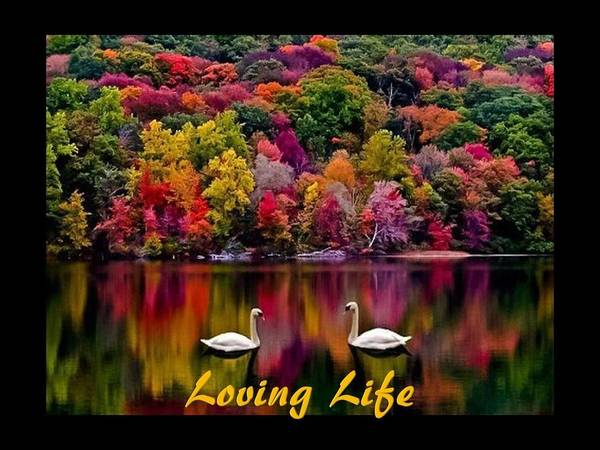 Swans Poster featuring the photograph Swans Loving Life by Nancy Ayanna Wyatt and PixxlTeufel