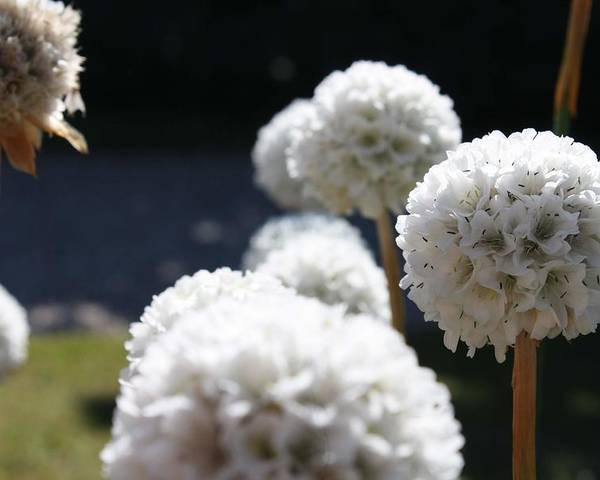 Aliums Poster featuring the photograph White Aliums by Vicki Cridland