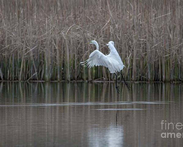 White Egret Poster featuring the photograph White Egret - 2 by David Bearden