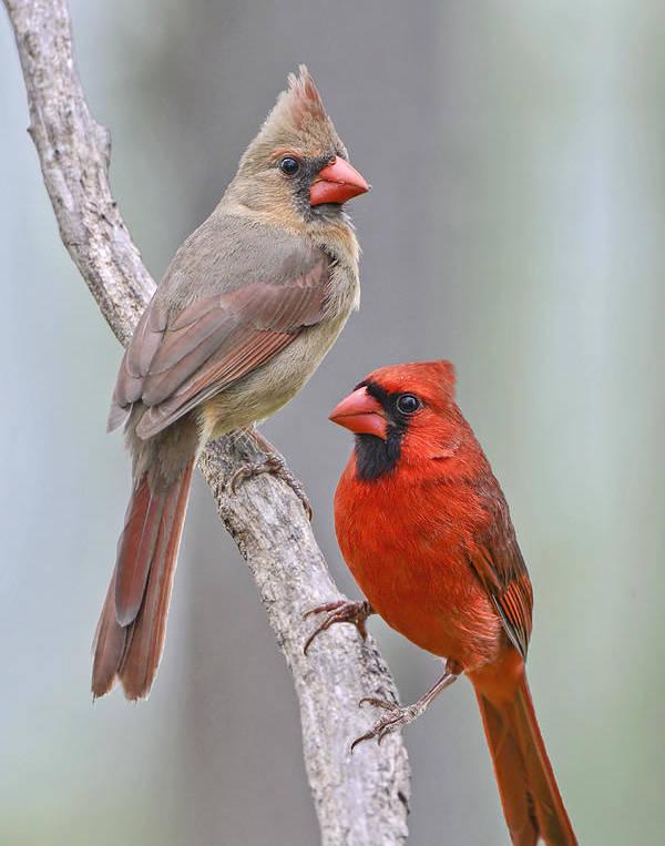 My Cardinal Neighbors by Bonnie Barry