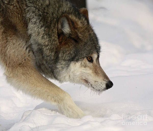 Wolf Dreams Poster featuring the photograph Wolf Dreams by Inspired Nature Photography Fine Art Photography