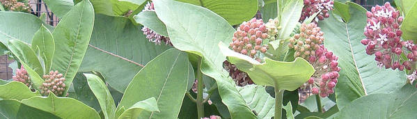 Milkweed Poster featuring the photograph Milkweed Barcode No1 08 8 2008 by Donald Burroughs