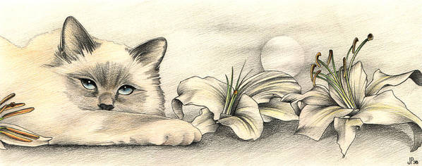 Birman Poster featuring the drawing Lily The Birman by Johanna Pieterman