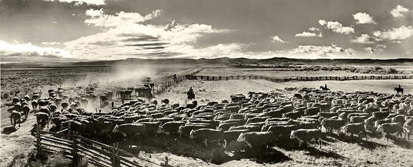 Cattle Poster featuring the photograph Cattle Drive by Unknown