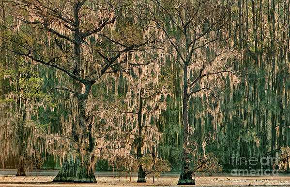 Dave Welling Poster featuring the photograph Backlit Moss-covered Trees Caddo Lake Texas by Dave Welling