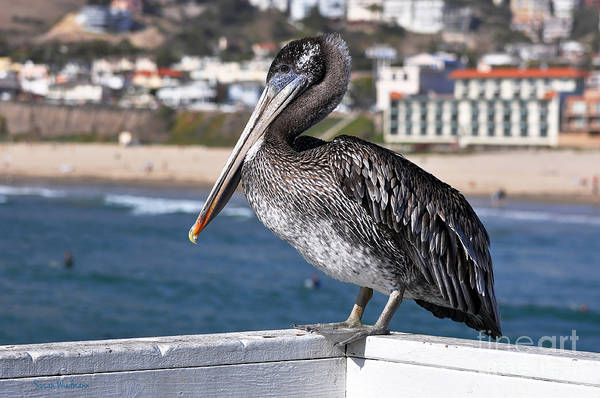 Susan Wiedmann Poster featuring the photograph Juvenile Brown Pelican by Susan Wiedmann