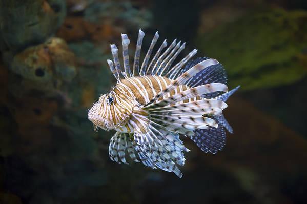 Lionfish Poster featuring the photograph Lionfish - Gatlinburg Tn Ripleys Aquarium by Dave Allen