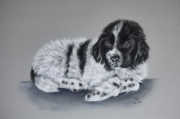 Dog Poster featuring the pastel Landseer Pup by Patricia Ivy
