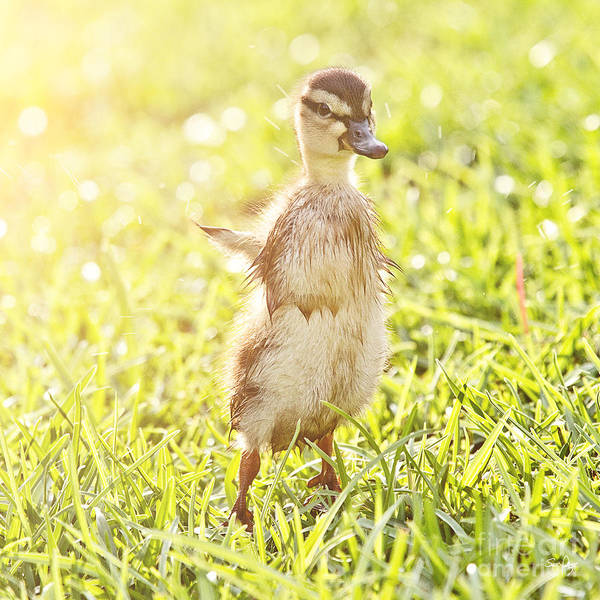 Duckling Poster featuring the photograph Morning Stretch by Scott Pellegrin
