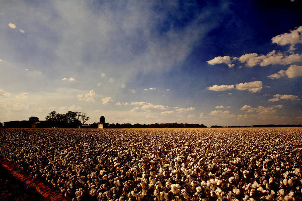 Cotton Poster featuring the photograph Cotton Field by Scott Pellegrin
