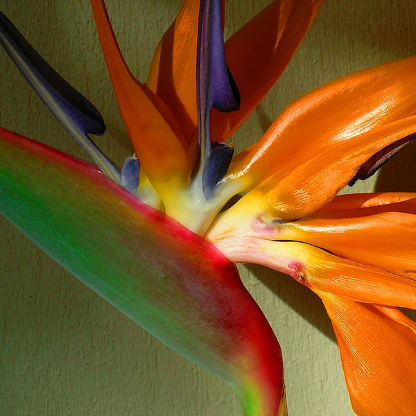 Bird Of Paradise Poster featuring the photograph Paradise Morning by James Temple