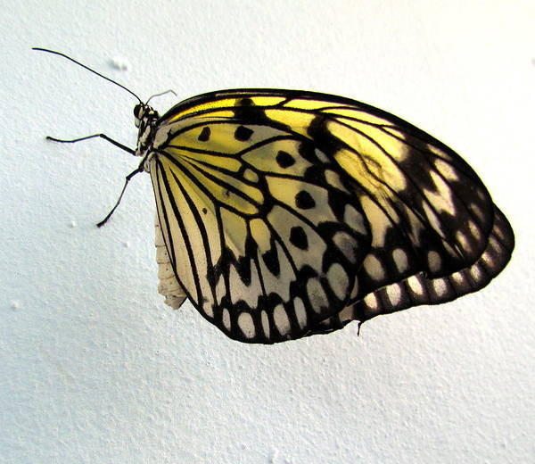 Butterflie Poster featuring the photograph Monarch Butterflie by Joyce Woodhouse