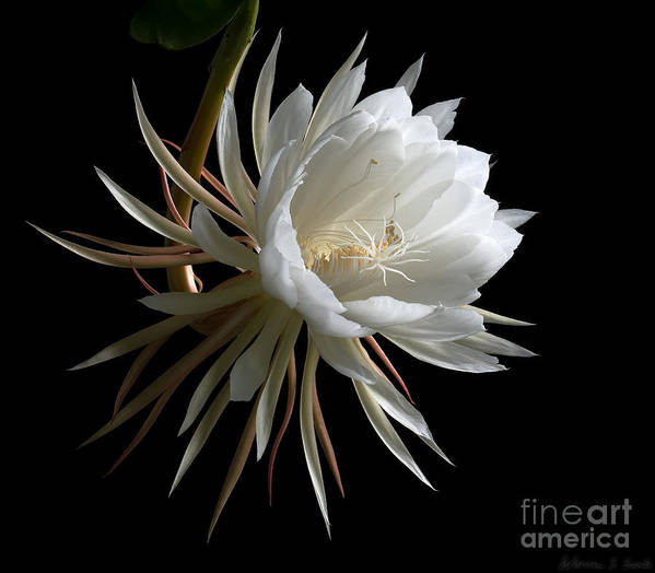 Cereus Poster featuring the photograph Night-blooming Cereus 1 by Warren Sarle