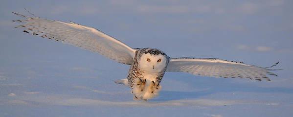 Snowy Poster featuring the photograph Snowy Owl Last Light by Scott Linstead