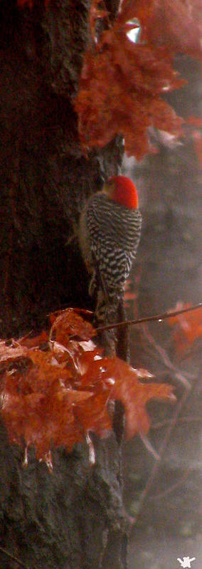 Red Headed Woodpecker Poster featuring the photograph Deep In The Forest Woodpecker by Debra   Vatalaro