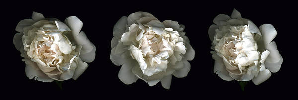 Scanography Poster featuring the photograph Peony Tryptic by Deborah J Humphries