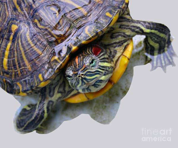 Turtle Poster featuring the photograph Red Ear by Kathy Daxon