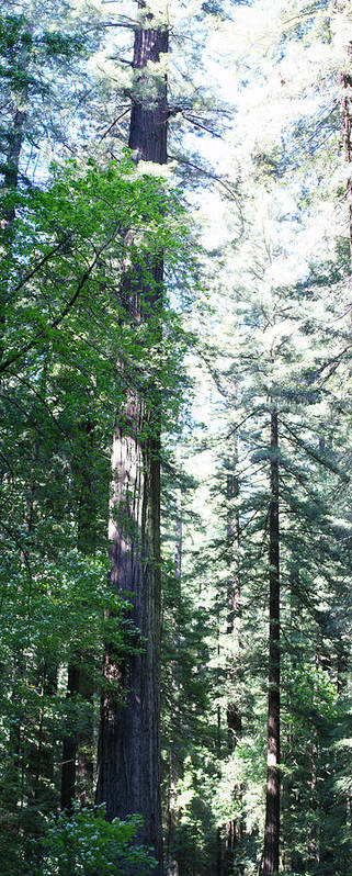 Forest Poster featuring the photograph Majesic Redwoods by Gregory Jeffries