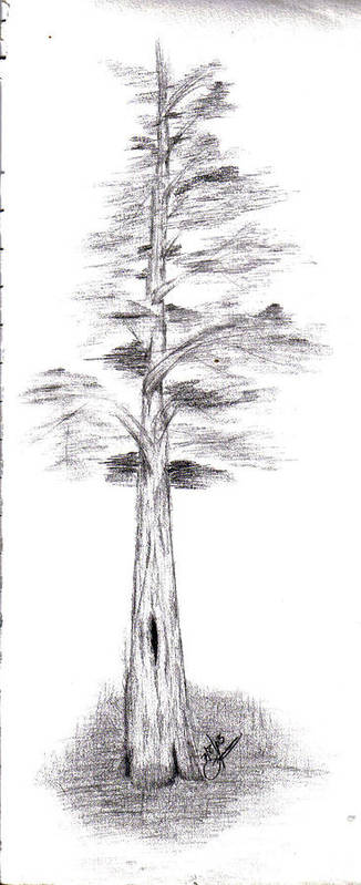 Poster featuring the drawing Pine Tree by Lynnette Jones