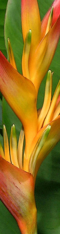 Heliconia Poster featuring the photograph Hawaii Dreaming 2 by James Temple