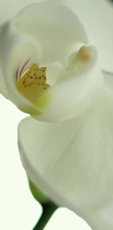 White Orchid Poster featuring the photograph White Orchid Macro by Rosemarie Elizabeth Seppala
