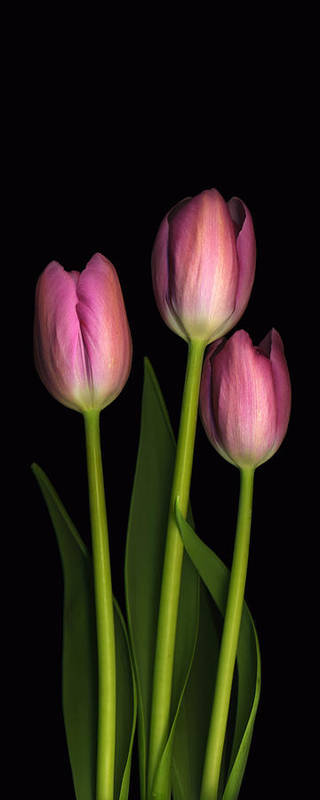 Scanography Poster featuring the photograph Tulip Trio by Deborah J Humphries