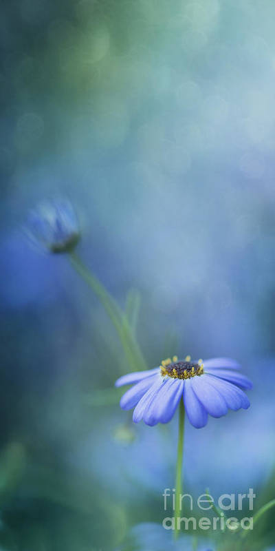 Daisy Poster featuring the photograph Breathe Deeply by Priska Wettstein