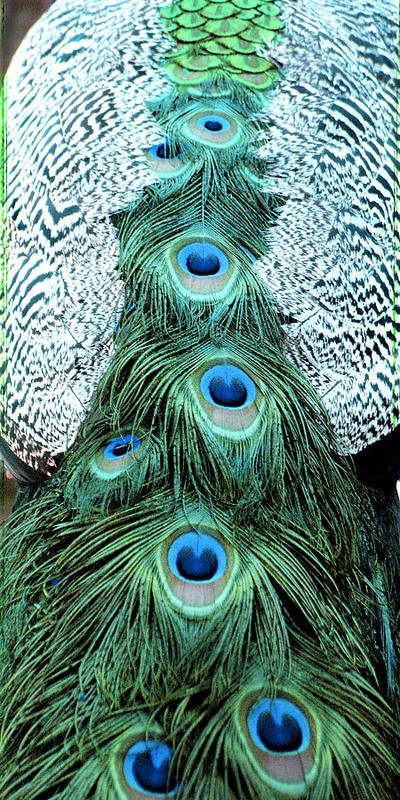 Peacock Poster featuring the photograph Peacock Plume by Linde Townsend