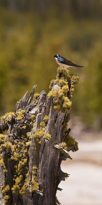 Bird Poster featuring the photograph Tree Swallow by Chad Davis