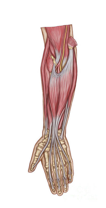 Vertical Poster featuring the digital art Anatomy Of Forearm Muscles, Anterior by Stocktrek Images