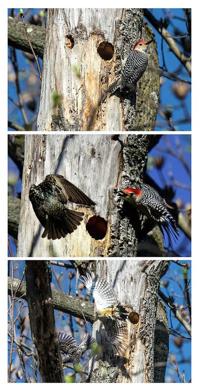 Animal Poster featuring the photograph Red Bellied Woodpecker Harassed By A Starling by William Bitman