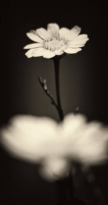 Abstract Poster featuring the photograph Dark Daisy by Stelios Kleanthous