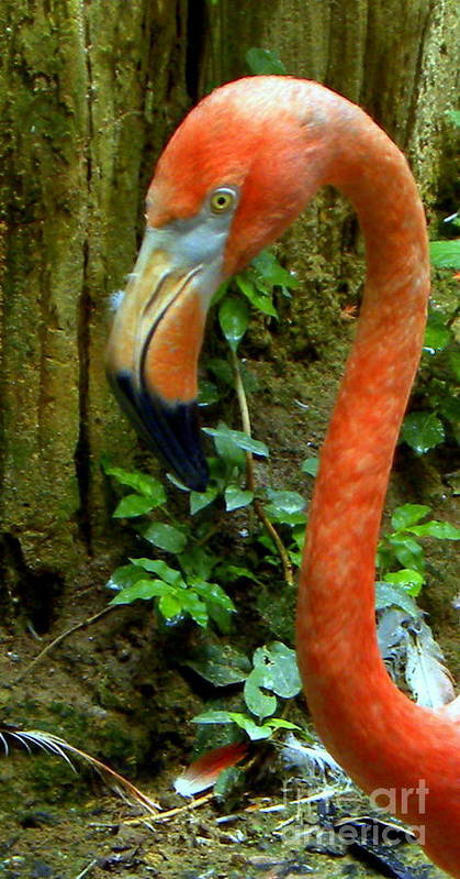 Bird Poster featuring the photograph Flamingo Close Up Profile by Terri Mills