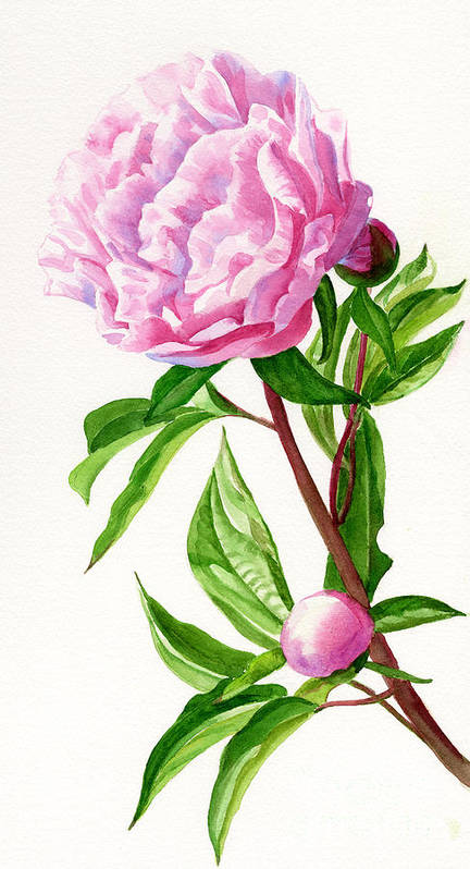 Pink Poster featuring the painting Pink Peony With Leaves by Sharon Freeman