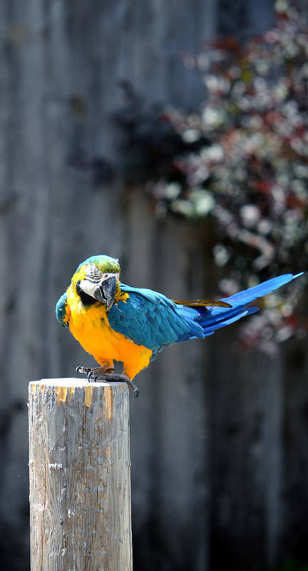 Psittacines Poster featuring the photograph Blue And Gold Macaw by Rafay Zafer